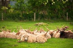 Hungarian racka sheep. Herd on the pasture royalty free stock photos