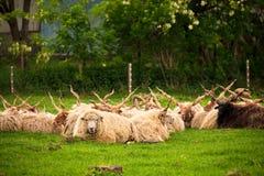 Hungarian racka sheep. Herd on the pasture stock image