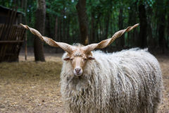 Hungarian 'racka' sheep. Lonely hungarian 'racka' sheep (Ovis aries strepsiceros Hortobagyiensis) standing in shade below trees Royalty Free Stock Photo