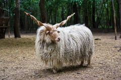 Hungarian 'racka' sheep. Lonely hungarian 'racka' sheep (Ovis aries strepsiceros Hortobagyiensis) standing in shade below trees Stock Photography