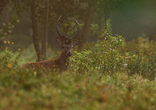 Hungarian Red Deer. The picture was taken in Hungary Stock Photos