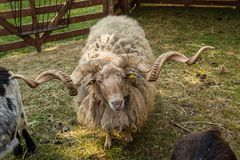 Hungarian sheep. At Stettenfels Castle in Baden-Württemberg in Germany stock photo