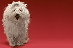 Hungarian Sheepdog. Full length of Hungarian sheepdog on red background Stock Photo