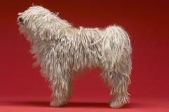 Hungarian Shepherd Dog stock images