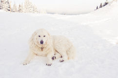 Hungarian shepherd dog- Kuvasz Stock Images