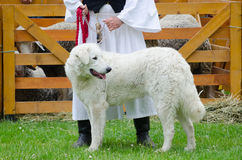 Hungarian shepherd dog pooch standing in front of sheep barn wit Royalty Free Stock Image