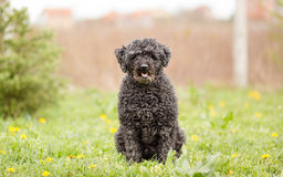 Hungarian shepherd Puli Royalty Free Stock Photography