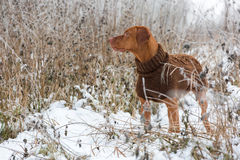 Hungarian Short-haired pointer Magyar Vizsla. Hungarian Short-haired pointer Magyar Vizsla in winter landscape Royalty Free Stock Photo