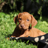 Hungarian Short-haired Pointing Dog puppy lying Stock Image