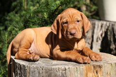Hungarian Short-haired Pointing Dog puppy lying Stock Photos
