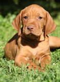 Hungarian Short-haired Pointing Dog puppy lying Stock Photography