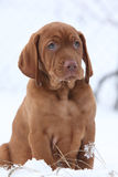 Hungarian Short-haired Pointing Dog in winter Royalty Free Stock Photo