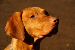 Hungarian shorthaired vizsla Royalty Free Stock Images