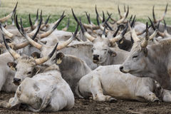 Hungarian tradicional Grey Steer Fotografia de Stock Royalty Free