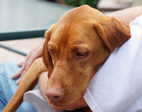 Hungarian Vizla cuddles with her owner Stock Image