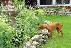 Hungarian Vizla hunts in the garden Royalty Free Stock Photo