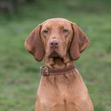 Hungarian Vizsla Royalty Free Stock Photography