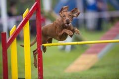 Hungarian Vizla que salta sobre o obstáculo amarelo na recreação da competição da agilidade Fotos de Stock Royalty Free
