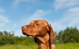 Hungarian Vizsa Dog Closeup. A closeup shot of a Hungarian Vizsla dog Stock Images
