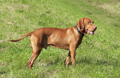 Hungarian vizsla. Is looking at something Royalty Free Stock Photo