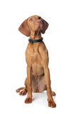 Hungarian Vizsla Royalty Free Stock Image