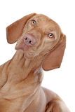 Hungarian Vizsla. In front of a white background Royalty Free Stock Image
