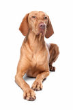 Hungarian Vizsla. In front of a white background Royalty Free Stock Photography