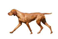 Hungarian Vizsla. Isolated with clipping path Royalty Free Stock Photos