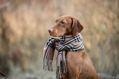 Hungarian Vizsla autumn portrait stock image