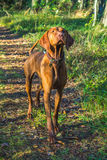 Hungarian vizsla. The beautiful hungarian vizsla dog pointing Royalty Free Stock Photography
