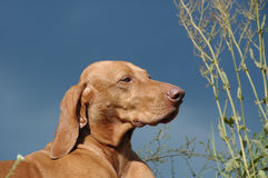 Hungarian Vizsla Dog Royalty Free Stock Image