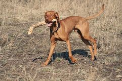 Hungarian Vizsla Dog Stock Photos