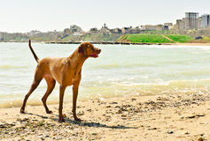 Hungarian Vizsla dog Royalty Free Stock Photography