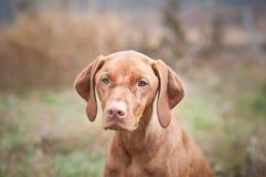 Hungarian Vizsla Dog Close-up Royalty Free Stock Photos