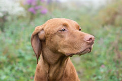 Hungarian Vizsla dog in a field. Stock Photo
