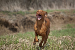 Hungarian Vizsla Dog in Grassy Field Royalty Free Stock Photos