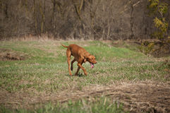 Hungarian Vizsla Dog in Grassy Field. A Hungarian Vizsla dog walks through a grassy field in the spring Royalty Free Stock Image