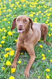 Hungarian Vizsla Dog Lying in Dandelions. A Hungarian Vizsla dog lies down on some grass that is covered with yellow dandelions Royalty Free Stock Photo