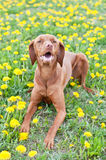 Hungarian Vizsla Dog Lying in Dandelions. A Hungarian Vizsla dog lies down on some grass that is covered with yellow dandelions Royalty Free Stock Photos