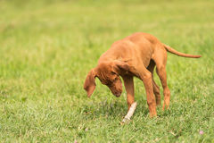 Hungarian vizsla dog play with a stick. In the park Stock Photography