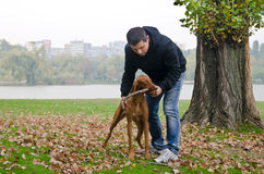 Hungarian Vizsla dog playing fetch in the park Royalty Free Stock Images