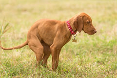 Hungarian vizsla dog poops in the park Stock Photography