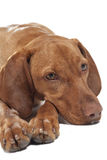Vizsla dog portrait Royalty Free Stock Photos