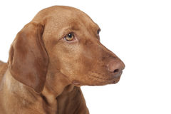 Vizsla dog portrait Stock Photography