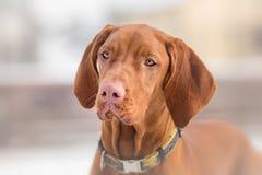 Hungarian Vizsla dog portrait Royalty Free Stock Images