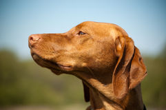 Hungarian Vizsla Dog Profile. A Hungarian Vizsla (Magyar Vizsla) dog looks to her right with blue sky and vegetation in the background Stock Photography
