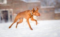 Hungarian Vizsla dog run Stock Image