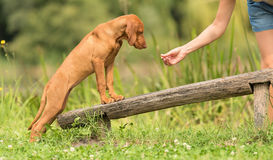 Hungarian Vizsla dog training Royalty Free Stock Photo