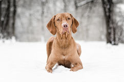 Hungarian Vizsla. Dog in winter time Stock Photos