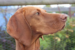 Hungarian vizsla ginger brown dog close up Stock Photos